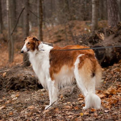 quiet dog breeds - borzoi