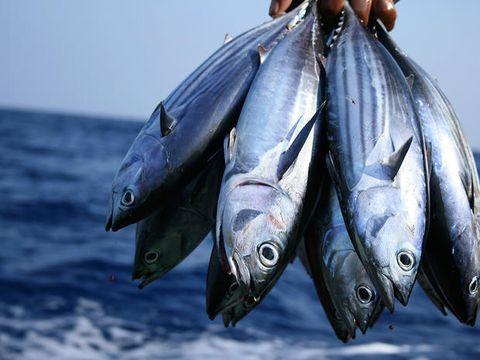 Fish, Fish, Fish products, Oily fish, Herring, Sardine, Milkfish, Atlantic spanish mackerel, Forage fish, Ray-finned fish,