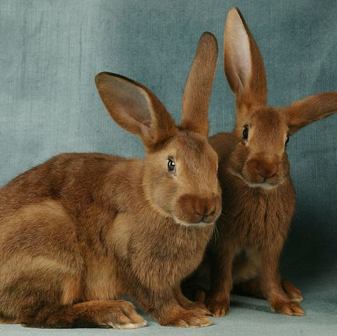 rabbit breeds