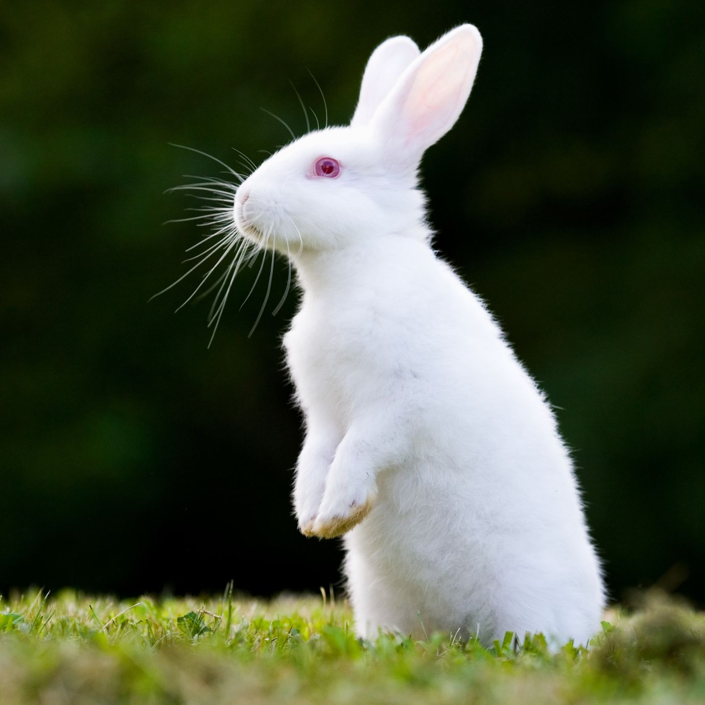 Rabbit Breeds American White Outdoors