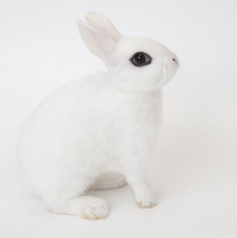 rabbit breeds Blanc de Hotot