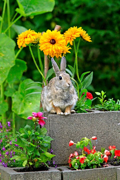 How to keep rabbits out of garden 5 best rabbit repellents - How to keep rabbits out of garden ...