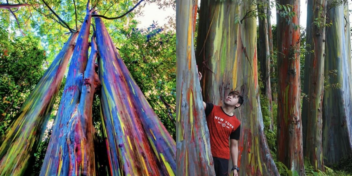 These Gorgeous Eucalyptus Trees Grow Rainbow Bark, and There Are Some in the U.S.