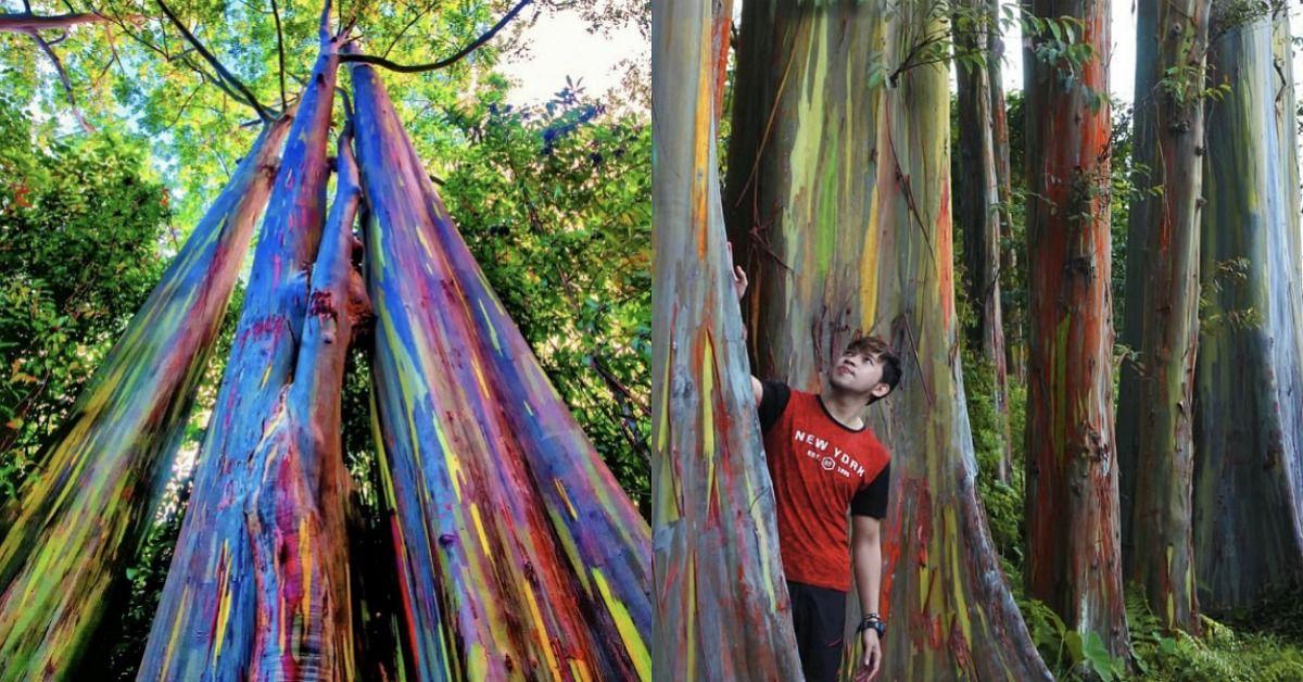 These Gorgeous Eucalyptus Trees Create a Rainbow Effect as Bark Peels