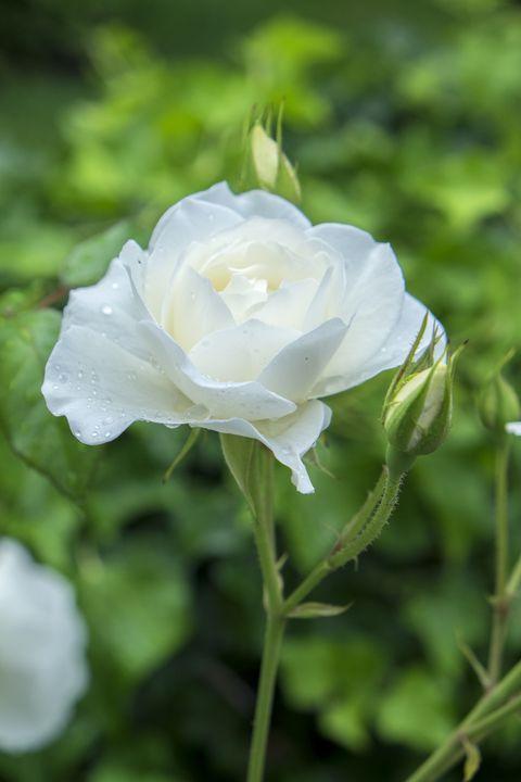 Raindrops on Iceberg Rose (Rosa), USA