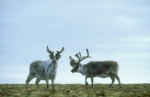 svalbard reindeer: rangifer tarandus  browsing summer tundra   svalbard