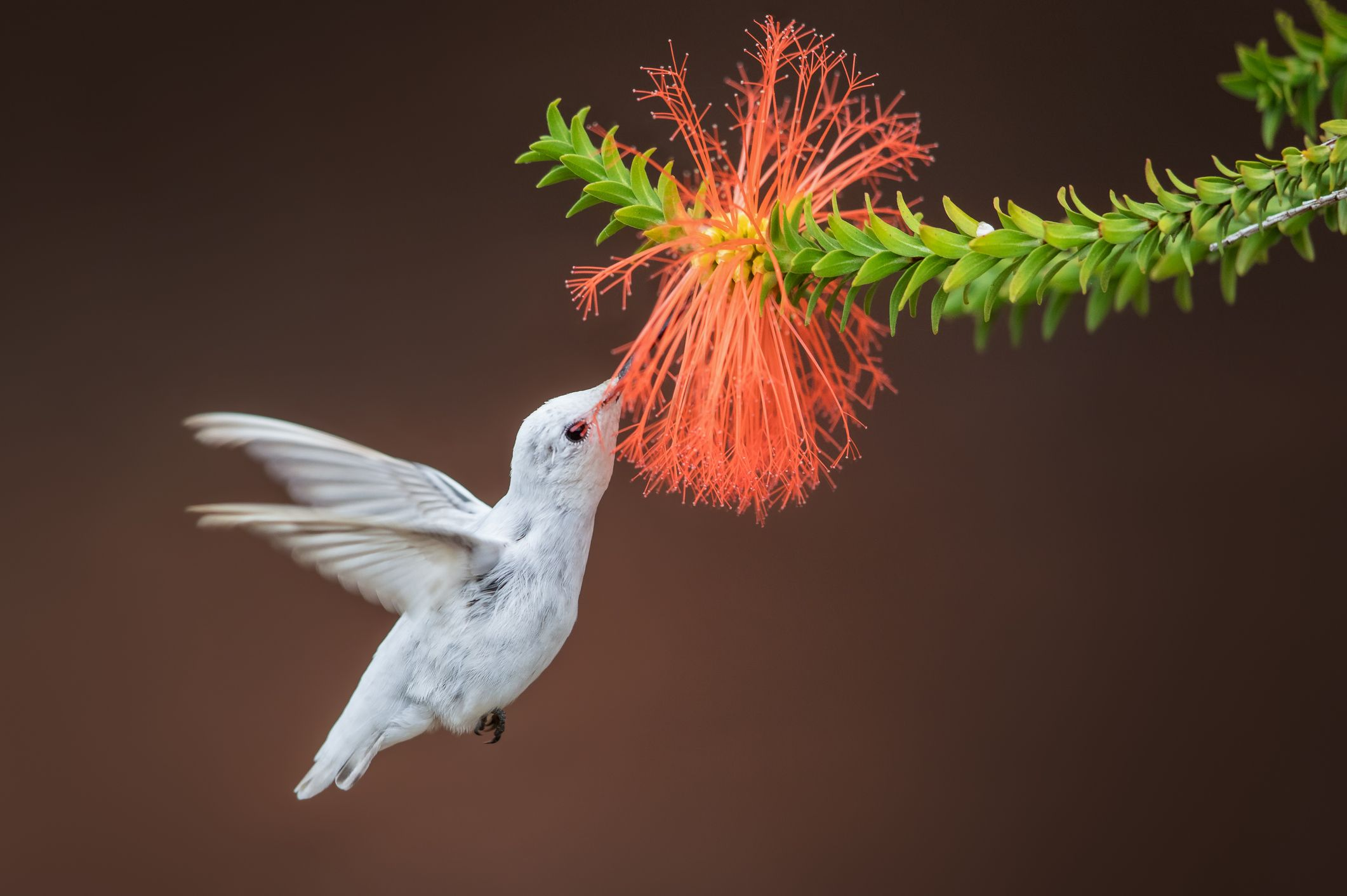 An Extremely Rare Albino Hummingbird Was Spotted in Alabama