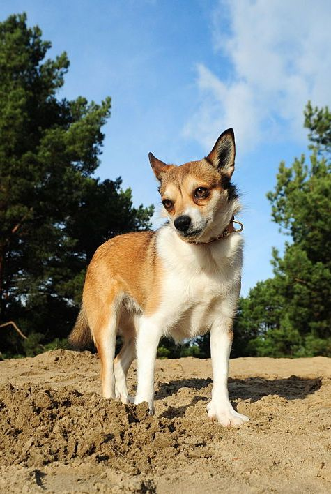 rare dog breeds norwegian lundehund