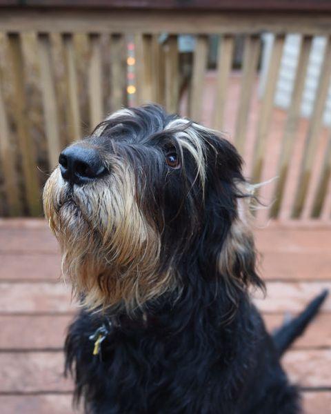 rare dog breeds otterhound