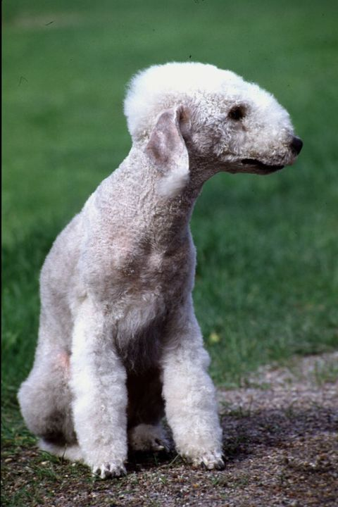 dogs that dont shed bedlington terrier