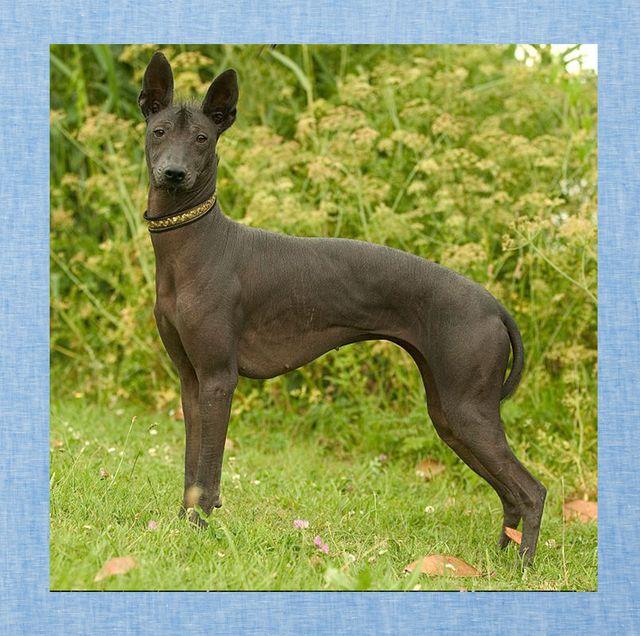 rare dog breeds xoloitzcuintli azawakh