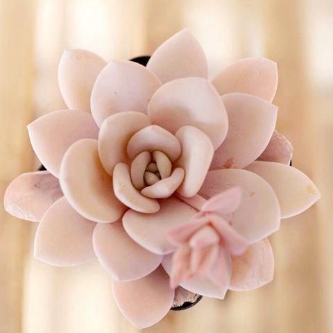 rare rose succulent
