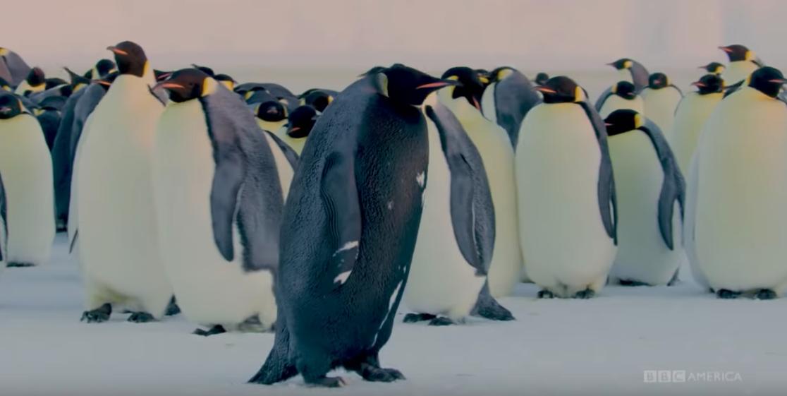 David Attenborough's Dynasties crew find very rare all-black penguin