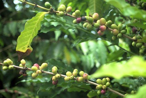 Raw cofffee beans tree and fruits at the farm Kona Hawaii