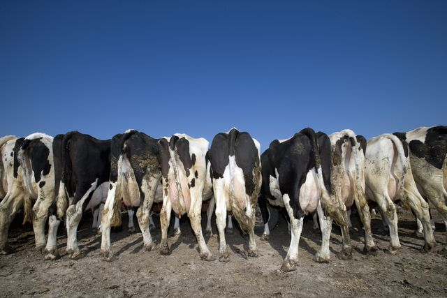 rear view of holstein dairy cows while feeding