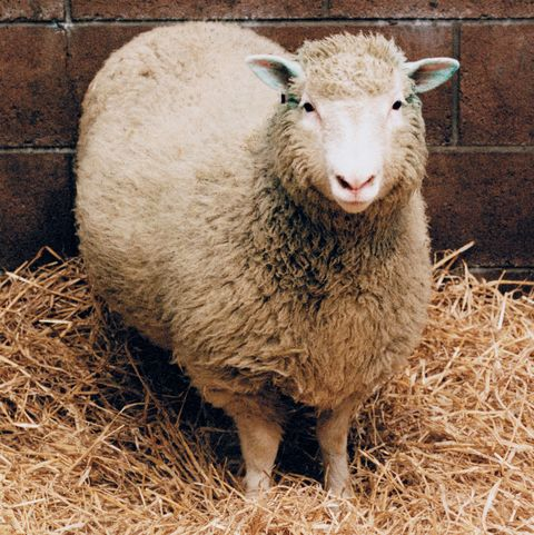 dolly cloned sheep