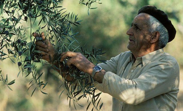 un hombre recoge aceitunas en españa