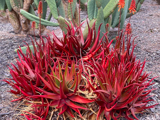 What Is Aloe Cameronii? This Red Aloe Plant Will Brighten up Your Garden