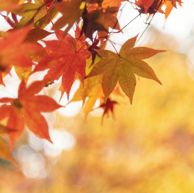 red and orange maple leaves in autumn
