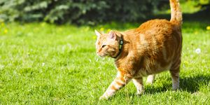Red cat in the garden on the green grass