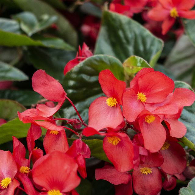 25 Best Red Flowers For Gardens