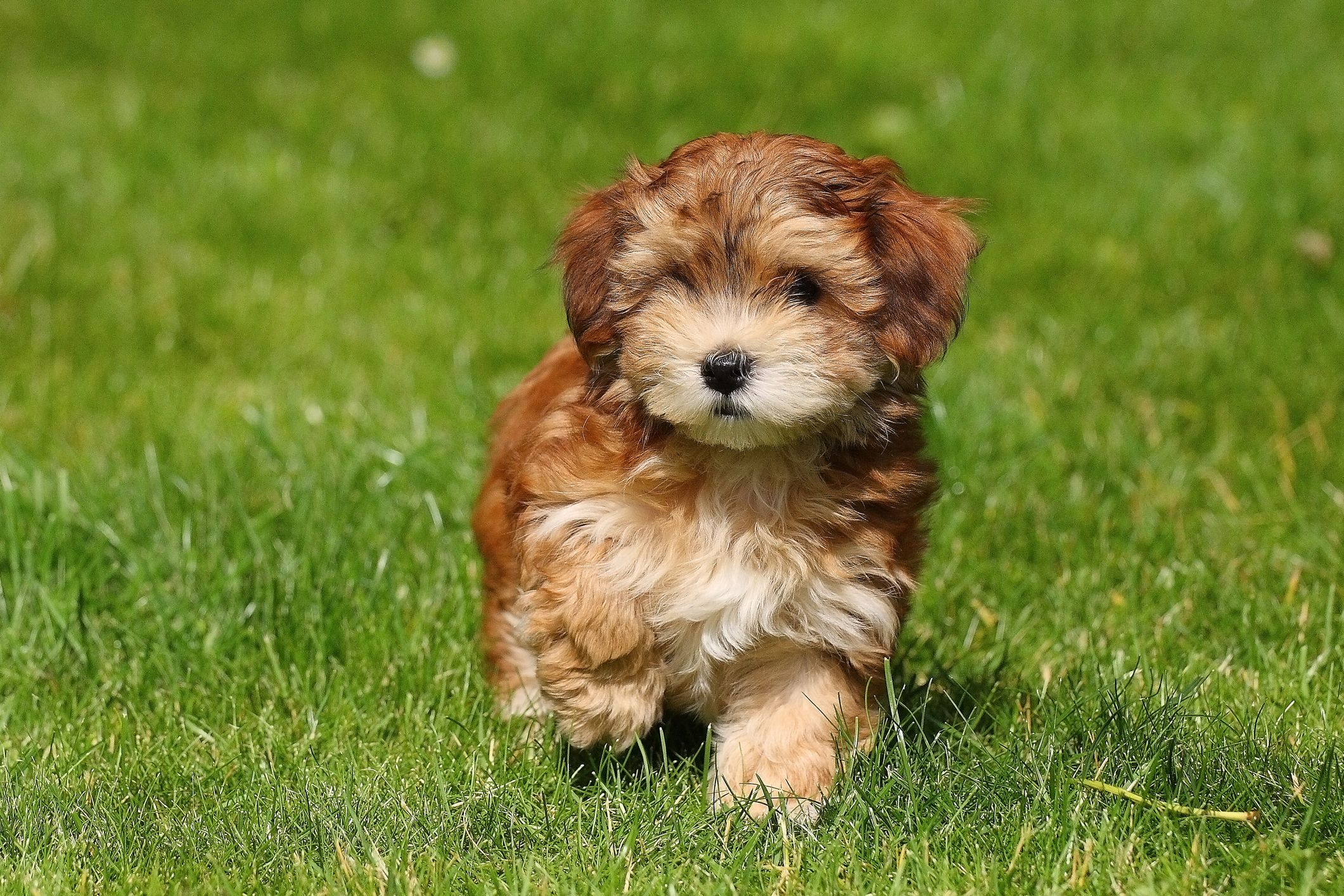 Image of: Southeastern Guide Dogs That Dont Shed Havanese Petapixel 15 Dogs That Dont Shed Hypoallergenic Dog Breeds