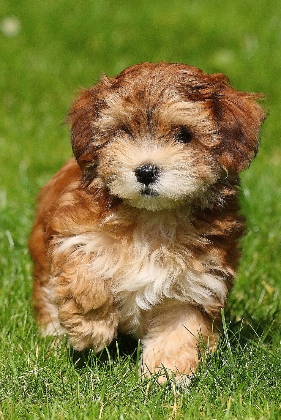 Dogs That Don't Shed Havanese