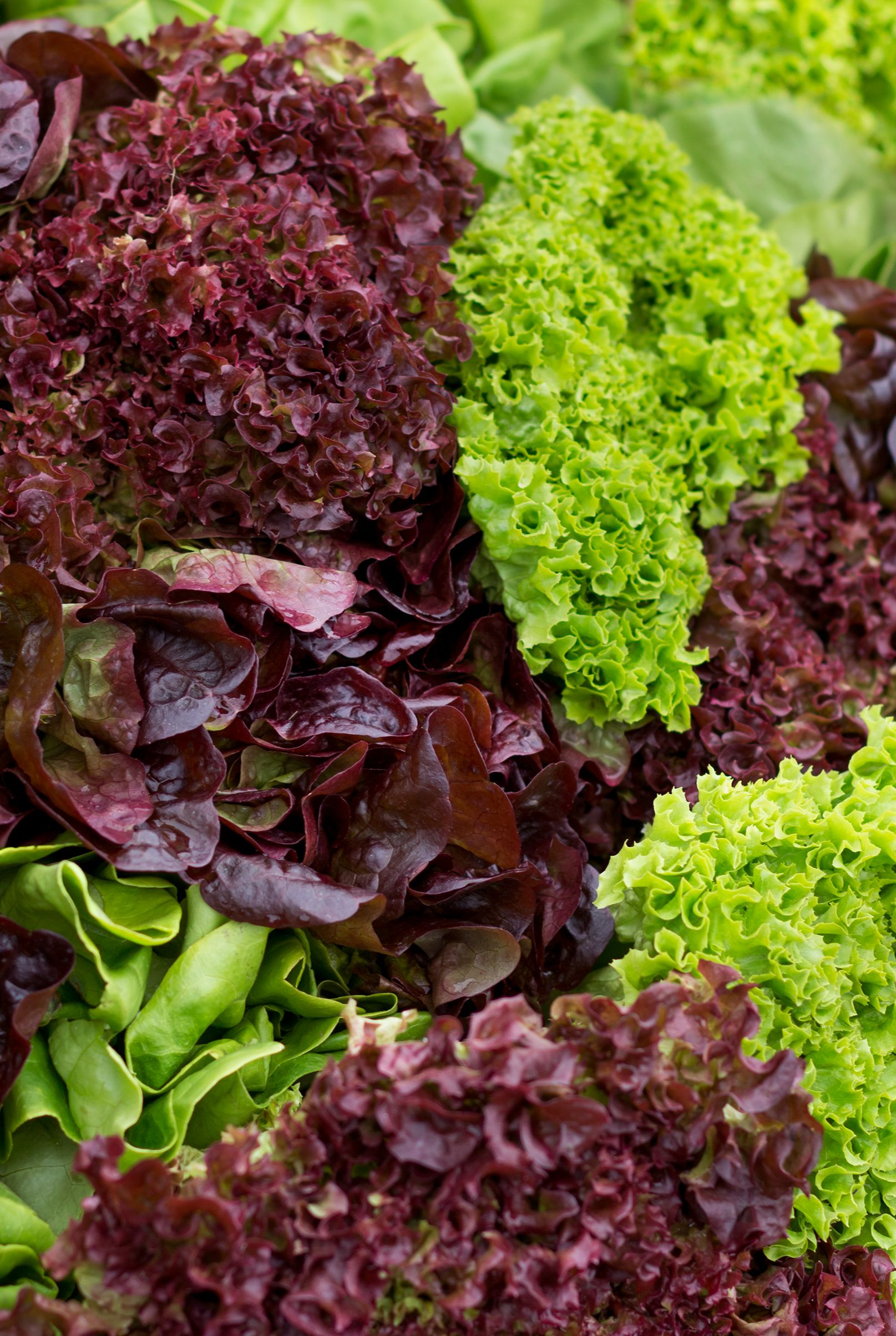 Red Leaf and Green Leaf Lettuce