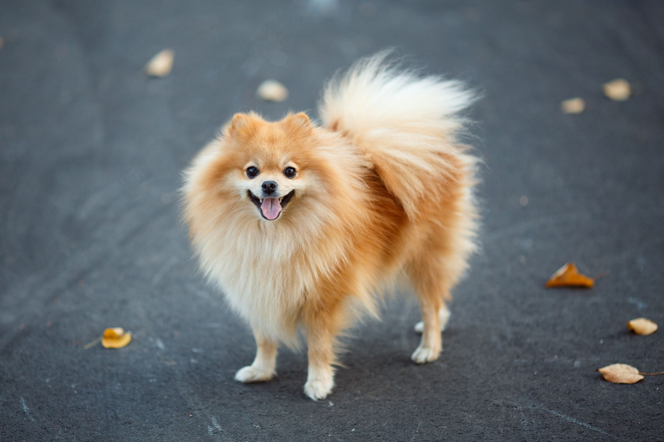 43 Best Small Dog Breeds - Toy Breed Dogs