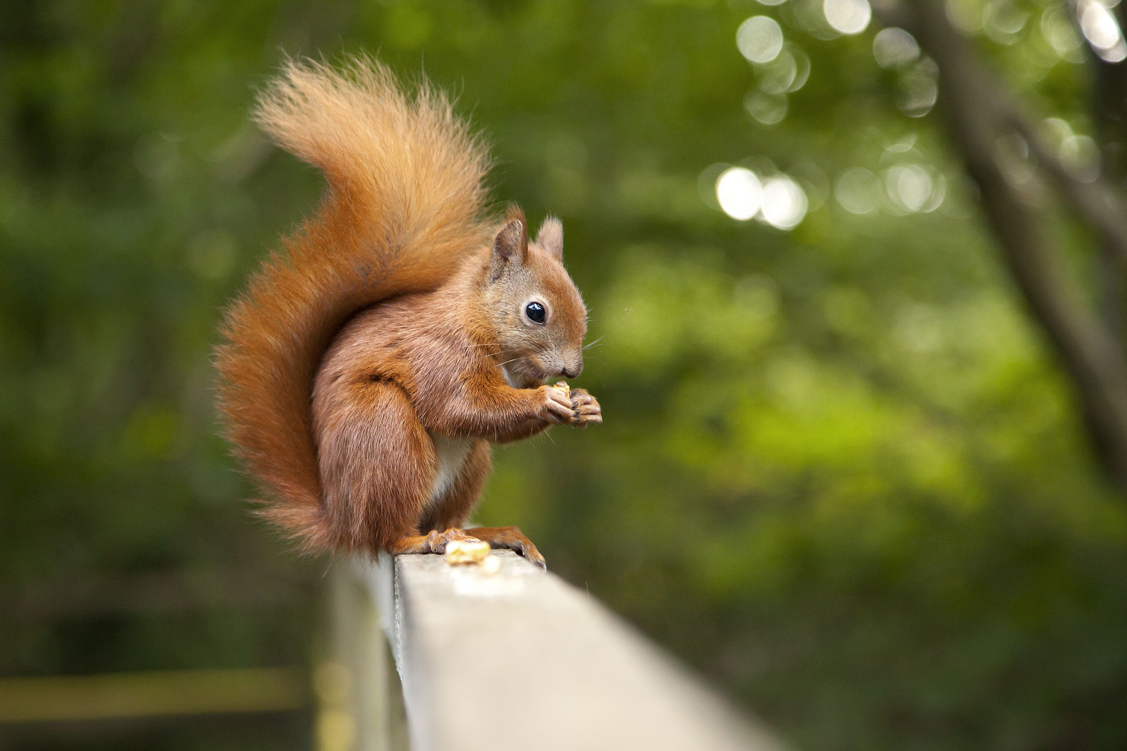 Red squirrels are making a comeback, thanks to the brown-haired pine marten