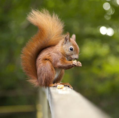 red-squirrel-royalty-free-image-1576234080.jpg?crop=0.670xw:1.00xh;0.0743xw,0&resize=480:*