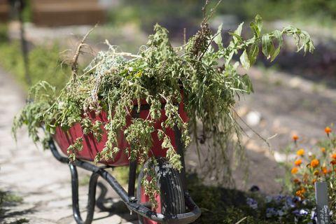 Red wheelbarrow full of weeds in a garden