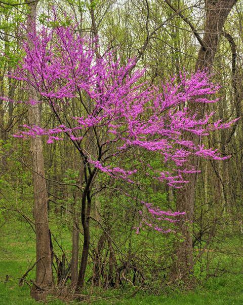 redbud tree along a woods edge hamilton county, indiana