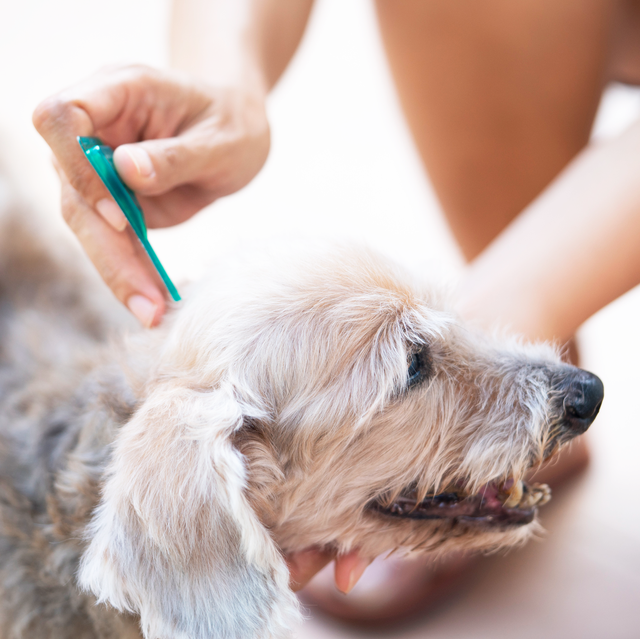 woman removing a tick on a dog with tweezers