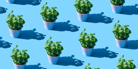 repeated basil plant in a pot on the blue background