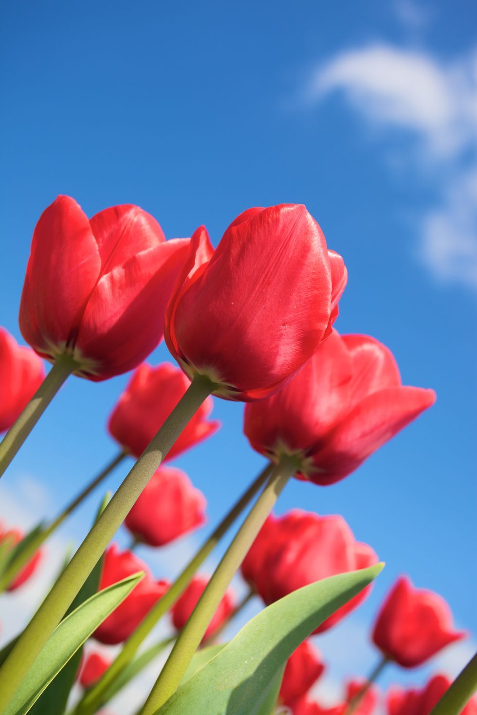 Red Tulips - Flower Meanings