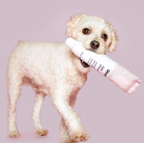 Dog, Dog breed, Canidae, Mammal, Puppy, Companion dog, Carnivore, Bichon frisé, Maltese, Bichon,