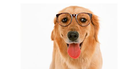 Dog, Canidae, Mammal, Dog breed, Facial expression, Golden retriever, Nose, Snout, Carnivore, Glasses,