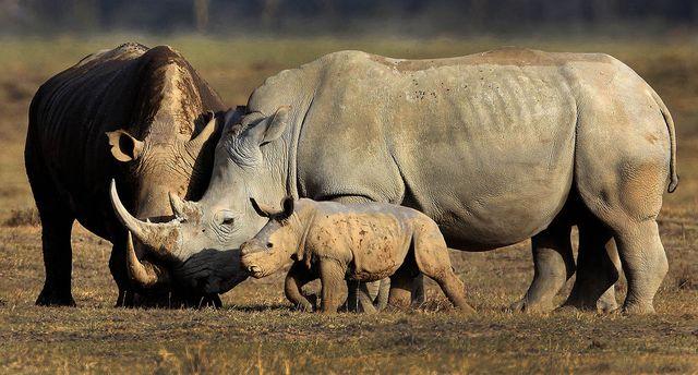 rhino with baby