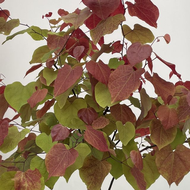 the chelsea flower show 2021 plant of the year is cercis canadensis 'eternal flame'