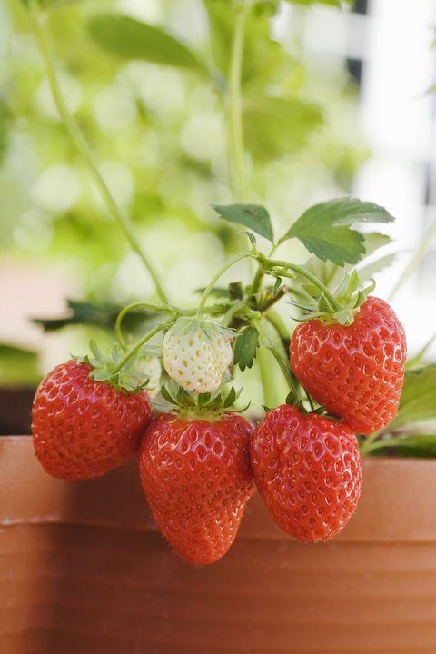 patio plants strawberries