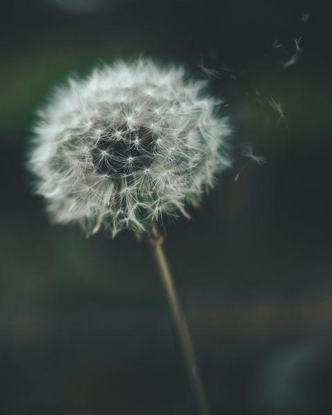 dandelion, Flower, Dandelion, Plant, Close-up, Sky, Flowering plant, Crassocephalum, Photography, Macro photography,