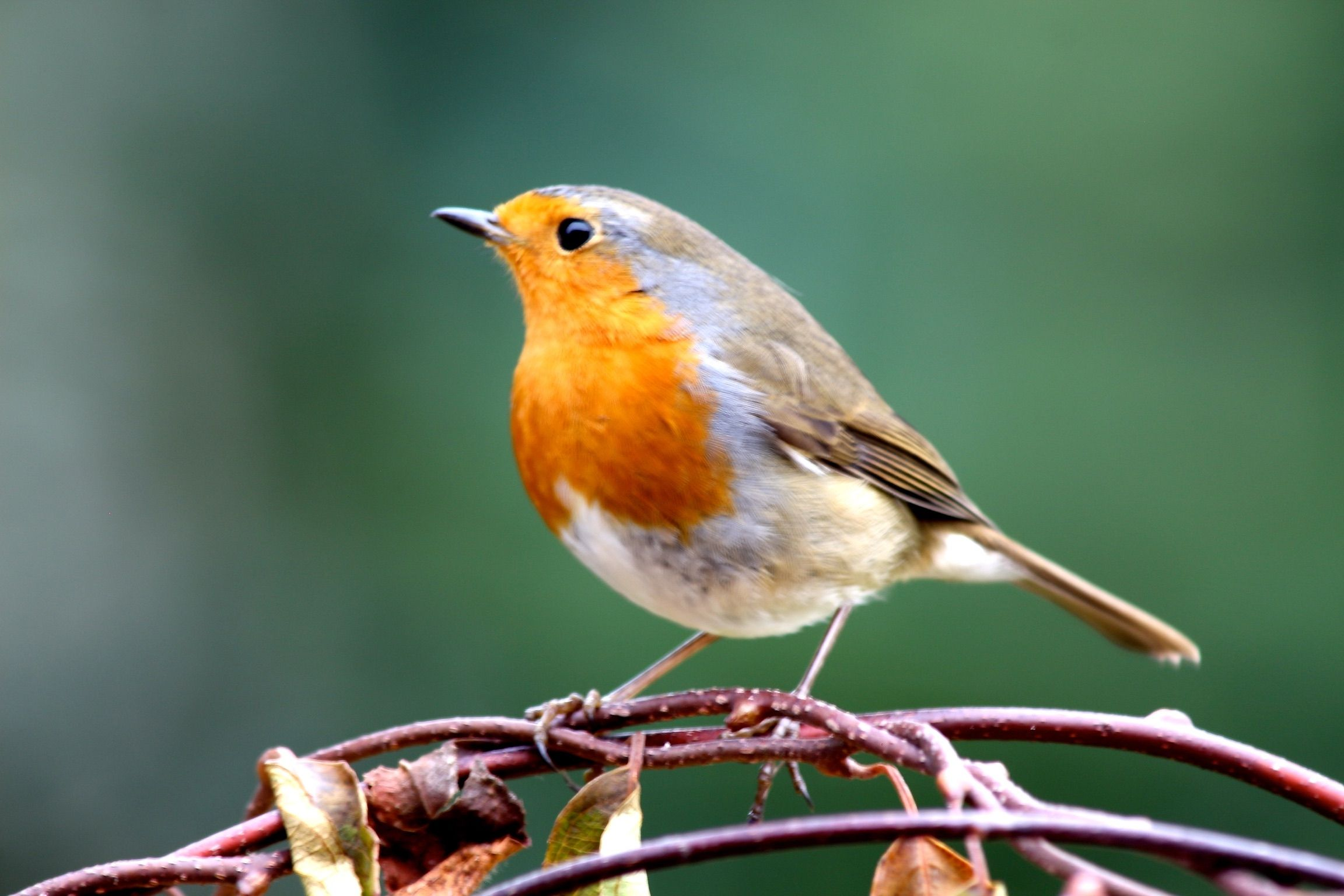 Robin migrates 140 miles over North Sea in just four hours, under the cover of darkness