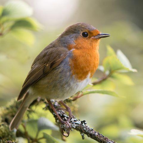 Robin (Erithacus rubecula) singing on branch