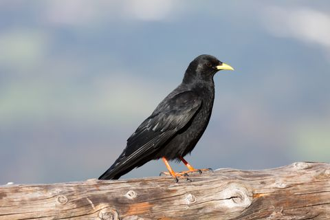 Rook bird (Corvus frugilegus) close up