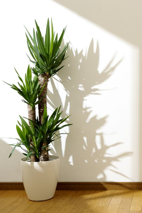 10 Best Indoor Trees You Can