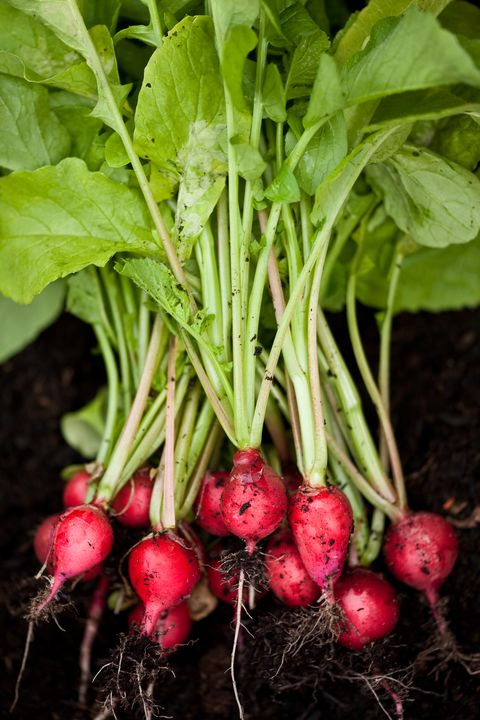 guide to root vegetables radishes