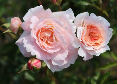 Rose Of The Year 2019 To Debut At Hampton Court Palace