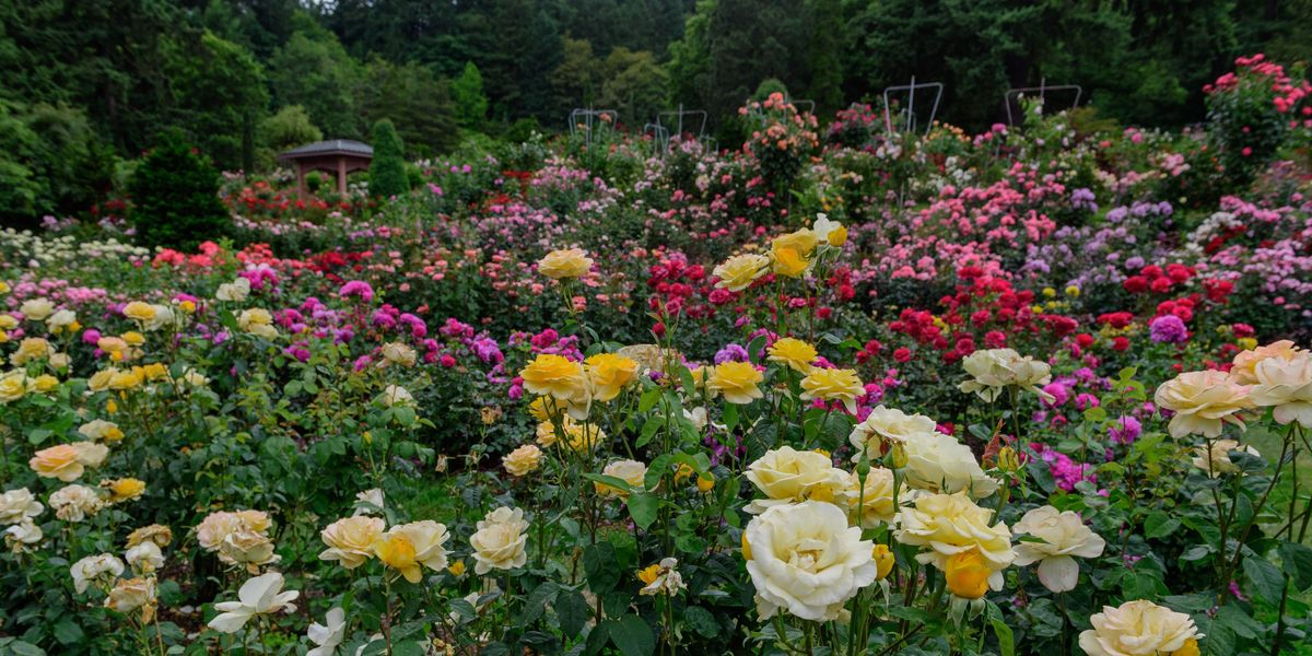 Types Of Roses 3 Roses Every Garden Needs