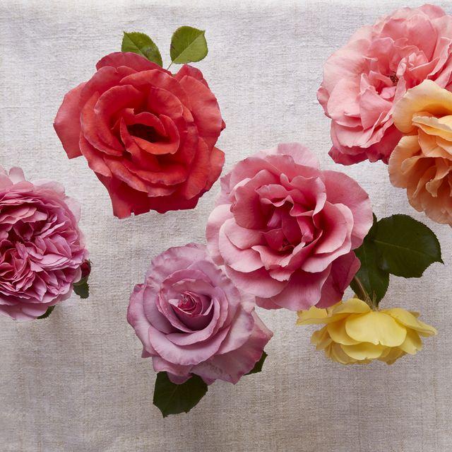 rose story farm roses